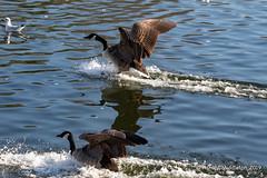 Canada Geese (Ashley Middleton Photography) Tags: coatewatercountrypark swindon animal bird canadagoose england europe goosegeese unitedkingdom water wiltshire