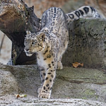 Snow leopard walking down thumbnail