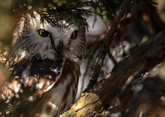 Well hidden (NicoleW0000) Tags: northernsawwhetowl owl birdofprey bird tinytreasure cedartree trees evergreen eyes wild wildlife nature naturephotography wildlifephotography ontario cute