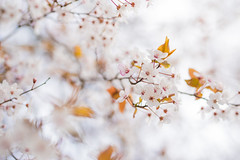 Dreamy (Fotofriedo) Tags: bloom spring beautiful breezy light soft pentaxart pentax50mm