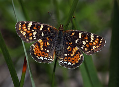 California Crescent (Ron Wolf) Tags: butterflyvalley californiacrescent lepidoptera nymphalidae phyciodesorseissspherlani plumasnationalforest sierra butterfly insect montane nature wildlife california explore