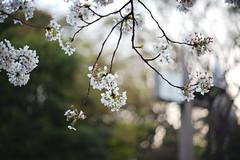 20190406_L0041_Summilux-R50_M10P_Shinjuku_Gyoen_JP (*Leiss) Tags: 2019 leica summilux 50mm m10p digital shinjuku gyoen tokyo japan jp