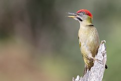 Levaillant's Woodpecker (Phil Gower Bird Photography) Tags: levaillants woodpecker bird nature wildlife