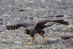 Striated Caracara (Linda Martin Photography) Tags: phalcoboenusaustralis saundersisland striatedcaracara southatlanticocean falklandislands coth bird nature wildlife coth5