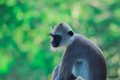 Grey Langur (Thushan Manujith Fernando) Tags: grey langur