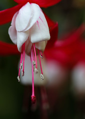 When The Bells Are Ringing (AnyMotion) Tags: fuchsia fuchsie blossom blüte stamen staubgefäse pistil stempel bokeh 2018 plants pflanzen anymotion nature natur blumen floral flowers frankfurt 6d canoneos6d garden garten colors colours red rot white weis macro makro makroaufnahmen