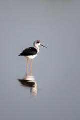 HoskoteBirding_Jan2019_D75_8455 (mgcs) Tags: hoskote birds indianbirds karnataka nikond750 nikkor200500 wild handheld