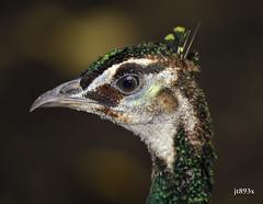 Peafowl Portrait (jt893x) Tags: 150600mm bird d500 jt893x nikon nikond500 peafowl portrait profile sigma sigma150600mmf563dgoshsms thesunshinegroup coth alittlebeauty