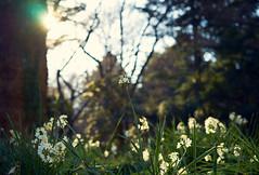 Arrival of spring (KaeriRin) Tags: japan spring winter january sun nature green forest tree flowers shinjuku gyoen park sony alpha sony7m2 7mii zeiss 55mm18