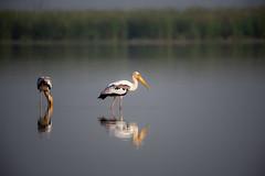 HoskoteBirding_Jan2019_D75_8457 (mgcs) Tags: hoskote birds indianbirds karnataka nikond750 nikkor200500 wild handheld
