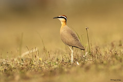 # Indian Courser........... (Dr Prem K Dev) Tags: indian india inland courser composition colourful common chestnut bird beautiful brilliant bokeh bg brown rich red green glint grass pleasing pose standing sharp tack details feathers nature