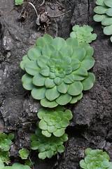 Aeonium glandulosum (Wild Chroma) Tags: saxifragales flora madeira aeonium glandulosum aeoniumglandulosum crassulaceae
