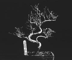 Dead Bonsai (Attila Pasek (Albums!)) Tags: 8x10 vds bw 14inchf63 alliancecamerace film dead linefilm analogue bonsai stilllife agfa largeformat blackandwhite commercial kodak camera ektar vdscameramanufactory