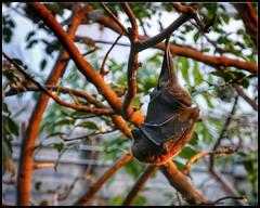 Fruit Bat (NickD71) Tags: panasonic lumix dmc lx100 compact snapseed london uk zsl zoo tropical fruit bat inverted upside down hanging leathery wings resting