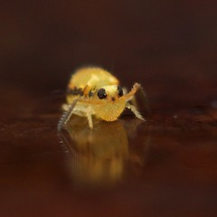 Sminthurinus sp. (Yusei Hara) Tags: macro animal insect collembola