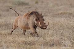 Warthog (fascinationwildlife) Tags: animal mammal wild wildlife nature natur national park warthog warzenschwein dusk addo elephant south africa südafrika afrika eastern cape