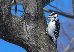DSC_6983 (PaulPagéPhotos) Tags: d500 nikon 200500mm birds britannia ottawa downywoodpecker