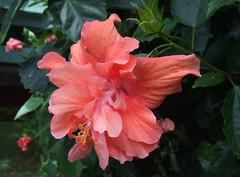 Cloud chaser . . . (ericrstoner) Tags: hibiscus hibisco salmon brasília distritofederal sqs415sul