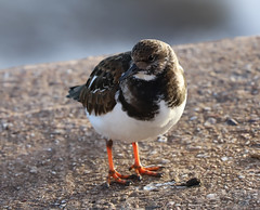 Esplanade Turnstone 2 (Raphooey) Tags: gb uk england south west southwest devon sid sidmouth valley vale beach sea seafront front seaside seashore shore shoreline esplanade promenade bird birds turn stone turnstones arenaria interpres canon eos 6d mk mark ii 2