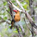 Ao Phang Nga, Brown-winged Kingfisher - Pelargopsis amauroptera, Mangrove, Thailand, Jan 2019-2