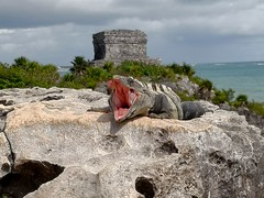 Iguana of Tulum (llocin) Tags: iguana mexico tulum mayan reptile lizard colour nature ruins history architecture archeology