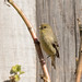 DSC_2485.jpg American Goldfinch, Bethany Curve
