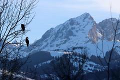 Phalacrocorax carbo (Great cormorant, Grand cormoran) (Sophie Giriens) Tags: phalacrocorax carbo grand cormoran great cormorant montagne moutain