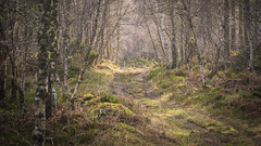 Track through the wood (prajpix) Tags: trees woods forest woodland invernesshire highlands scotland backlit outdoors walk road way path track trackway