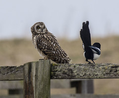 Morning, Colonel Magpie (Yvonne Alderson) Tags: owl magpie post greeting fence yvonne yvonnealderson