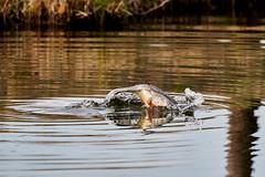 Svasso 77 (simonealbini) Tags: digapanperduto sommalombardo maddalena fiume ticino uccelliacquatici bird anatre svasso anatramandarina animali uccelli acqua sonya7iii sigma150600c