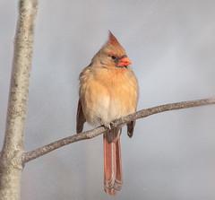 Female Cardinal (hey its k) Tags: 2019 birds cardinal cherryhillrbg female hendrievalley nature rbg snow burlington ontario canada ca imga9297ee canon5dmarkiv tamron 150600mm