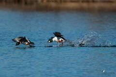 Running on water (Picturavis) Tags: hallesaale kiesgrubesaaleaue schellente vogel commongoldeneye bucephalaclangula bird tier animal lake takeoff water wasser see