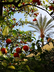 la fruta naranja (Towner Images) Tags: seville sevilla andalucia spain espana towner townerimages orange naranja fruit lush vegetation garden palm tree realalcazar shrub bush harvest españa andalusia