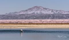 Alone in Laguna Chaxa (marko.erman) Tags: atacama san pedro chile valle del sal desert salt dry arid beautiful panorama road sony cordillera geology formation geological layers flamingo flying lagoon chaxa bird