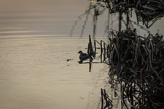 Tachybatus ruficollis (Little Grebe) - Podicepedidae - River Nene, Ferry Meadows Country Park, Peterborough, UK (Nature21290) Tags: aves december2018 ferrymeadows littlegrebe peterborough podicepedidae river rivernene tachybaptus tachybaptusruficollis uk