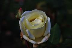 Christmas Rose (Hugo von Schreck) Tags: hugovonschreck rose flower blume blüte yourbestoftoday canoneos5dsr givemefive tamron28300mmf3563divcpzda010