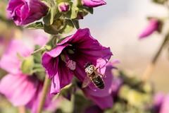 IMG_0826 Macro (Fernando Sa Rapita) Tags: baleares canon canoneos eos1300d mallorca sarapita sigma sigma105mm sigmalens macro naturaleza nature flor flower bee abeja polen