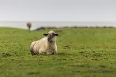 North Sea Sheep (*Photofreaks*) Tags: nordsee northsea deutschland germany cuxhaven waddensea wattenmeer winter sahlenburg döse duhnen strand strände beaches beach sea meer niedersachsen lowersaxony coasts küsten adengs wwwphotofreakseu