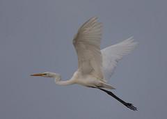 Great Egret (casmerodius albus) (Steve Ashton Wildlife Images) Tags: casmerodius albus casmerodiusalbus great egret greategret