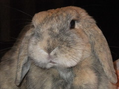 """""""This is my good side?"""" (eveliensbunnypics) Tags: bunny rabbit lop lopeared polly indoor inside house face closeup mouth mouf lips pink eye eyes lashes eyelashes okt whiskers posing"""