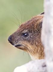 (Geonaut) Tags: betty'sbay gardenroute gartenrute stonypoint klipdassie klippdachs klippschliefer procaviacapensis rockhyrax südafrika za