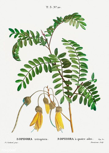 Large-leaved kowhai (Sophora tetraptera) illustration from Trait