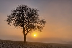 *winter tree @ sunset in the fog* (Albert Wirtz @ Landscape and Nature Photography) Tags: albertwirtz fog mist goldenhour sunset goldenestunde bergweiler eifel südeifel moseleifel wittlicherland wittlichland sonne sun sonnenuntergang baum tree brume bruma brouillard nebel nebbia laniebla natur nature landscape paesaggi paysage campo campagne campagna paisaje eifelsteig deutschland germany allemagne rheinlandpfalz rhinelandpalatinate winter hoarfrost raureif frost