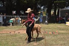 DSC_5105 (VAYG) Tags: vay vytec paraders aaa victorian alpaca association youth australian australia iar 2019 alpacas alpacalypse crystal cove profarma jay hall athena melbourne show redhill red hill