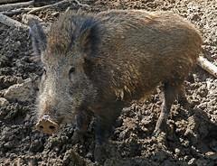 Wildschwein (anubishubi) Tags: lumixtz101 säuger säugetier schwein wildschwein