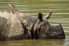 Panzernashorn / Indian rhinoceros (Rhinoceros unicornis) (uwe125) Tags: säugetier wildlife nepal nationalpark chitwan indien rhino panzernashorn animal tiere wunde parasiten reiher heron wound parasite