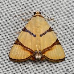 Pretty moth with fake eyes, Eulepidotis affinis, Erebidae (Ecuador Megadiverso) Tags: andreaskay ecuador fakeeyes falseeyes moth wildsumaco eulepidotisaffinis erebidae