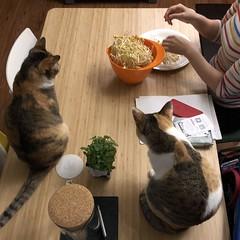 캣닙보다 콩나물. 한참 집중.  #catnip #BB8 #cats #catsofinstagram (Seattle Raindrops) Tags: catnip bb8 cats catsofinstagram