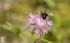 Bee (rumimume) Tags: rumimume 2019 niagara ontario canada photo canon 80d trail fall autumn plant bee flower outdoor day