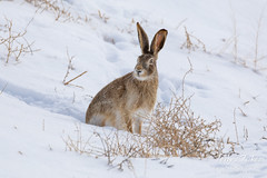 March 3, 2019 - A white-tailed jackrabbit in the fresh snow. (Tony's Takes)